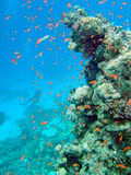 Coral reef with diver. Coral reef with fishlife and diver Royalty Free Stock Photo