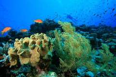 Coral Reef and Diver Stock Photos
