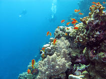Coral reef with divers and exotic fishes anthias at the bottom of tropical sea. On blue water background stock photo