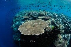 Coral Reef Drop Off en parc national de Wakatobi image libre de droits