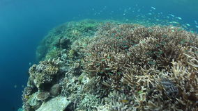 Coral Reef Drop Off in Raja Ampat. A healthy reef drops into deep water in Raja Ampat, Indonesia. This remote region harbors extraordinary marine biodiversity stock video footage