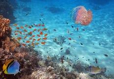 Coral Reef e medusa no Mar Vermelho Fotos de Stock Royalty Free