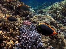 Coral Reef e peixes tropicais no Mar Vermelho Fotografia de Stock Royalty Free