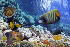 Coral Reef et iin tropical de poissons la Mer Rouge Image stock