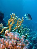 Coral reef with exotic fish Stock Image