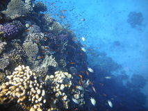 Coral reef with exotic fish Stock Photography