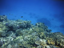 Coral reef with exotic fish Royalty Free Stock Image