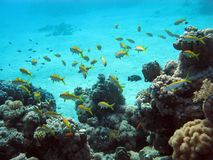 Coral reef with exotic fishes Stock Images