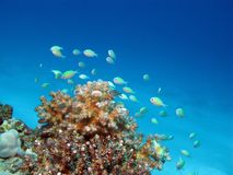 Coral reef with exotic fishes Royalty Free Stock Photography