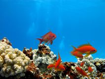 Coral reef with exotic fishes Royalty Free Stock Image