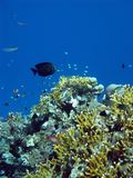Coral reef with exotic fishes Royalty Free Stock Photo