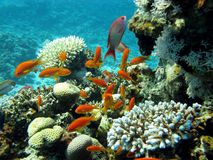 Coral reef with exotic fishes - Anthias Stock Photography