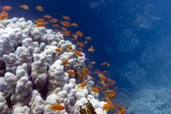 Coral reef with exotic fishes anthias Stock Photos
