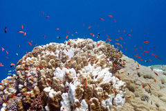 Coral reef with exotic fishes anthias and porites coral at the bottom of tropical sea Royalty Free Stock Photography