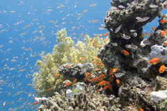 Coral reef with exotic fishes Anthias in tropical sea, underwate. Colorful coral reef with exotic fishes Anthias at the bottom of tropical sea, underwater stock photos