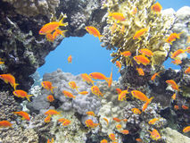 Coral reef with exotic fishes Anthias in tropical sea, underwater Royalty Free Stock Photos