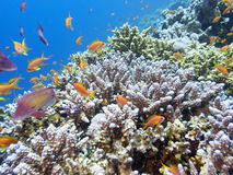 Coral reef with exotic fishes Anthias in tropical sea, underwater Royalty Free Stock Image