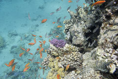 Coral reef with  exotic fishes anthias in tropical sea, underwater Stock Photography