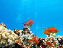 Coral reef with exotic fishes anthias - underwater Royalty Free Stock Images