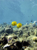 Coral reef with exotic fishes butterflyfishes in tropical sea Stock Photos
