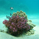 Coral reef with exotic fishes dascyllus in tropical sea, underwater Royalty Free Stock Photography