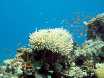 Coral reef with exotic fishes in tropical sea, underwater Royalty Free Stock Photos