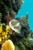 Coral reef with feather duster worms at the bottom of tropical sea Royalty Free Stock Photos