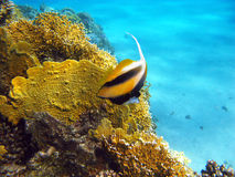 Coral reef with fire coral and butterflyfish at the bottom of tropical sea Stock Photo