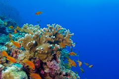 Coral reef with fire coral and exotic fishes anthias. On the bottom of red sea stock image