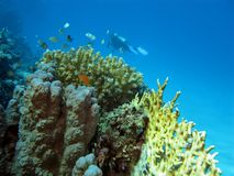 Coral reef with fire coral and fish Stock Photography