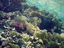 Coral reef with fire coral,Red Sea,Egypt Royalty Free Stock Photo