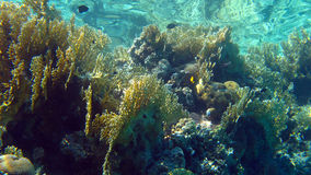 Coral reef with fire coral,Red Sea,Egypt Royalty Free Stock Photos
