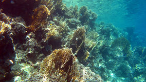 Coral reef with fire coral,Red Sea,Egypt Royalty Free Stock Image