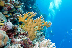 Coral reef with fire coral in tropical sea-underwater Royalty Free Stock Photography