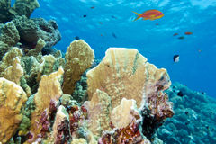 Coral reef with fire coral in tropical sea-underwater Royalty Free Stock Photo