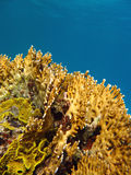 Coral reef with fire coral, underwater Royalty Free Stock Images