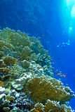 Coral reef with fire corals and exotic fishes anthias at the bottom of tropical sea Royalty Free Stock Photos