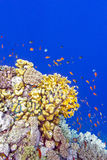 Coral reef with fire corals and exotic fishes anthias at the bottom of tropical sea Stock Photos