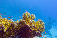 Coral reef with fire corals and exotic fishes anthiasin tropical sea Stock Photography