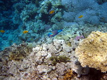 Coral reef and fish. At the red sea in Egypt, Africa Royalty Free Stock Photography