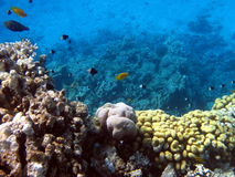 Coral reef and fish. Beautiful coral reef and fish at the Red sea Stock Image