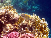 Coral reef and fish. At the Red sea in Egypt, Africa Stock Photo