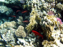 Coral reef and fish Royalty Free Stock Photos