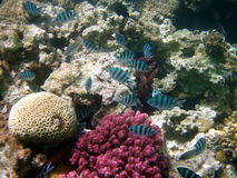 Coral reef and fish. At the Red sea, Egypt Stock Photo
