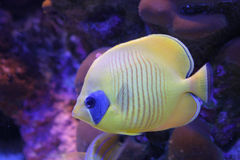 Coral reef fish. The yellow fish from the Red sea Stock Images