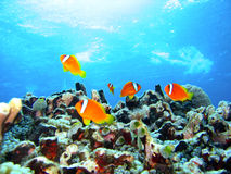 Coral reef fish. Brilliantly colored fish swimming in a pristine coral reef Royalty Free Stock Photo