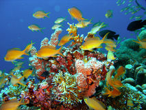 Coral Reef Fish Stock Image