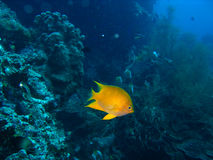 Coral reef fish Stock Photo