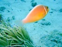 Coral reef fish Stock Image