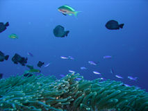 Coral reef fish Royalty Free Stock Photography